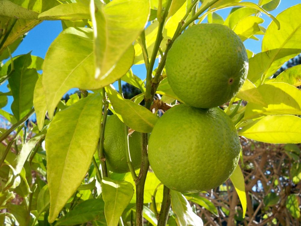 Own Lemons
